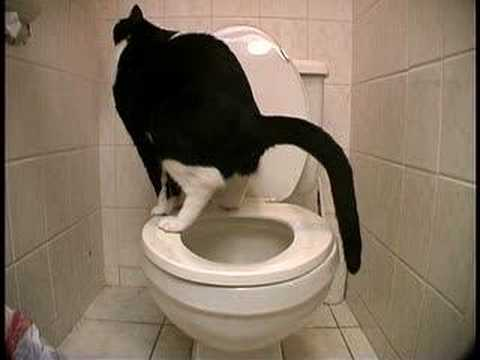 Chat et toilette